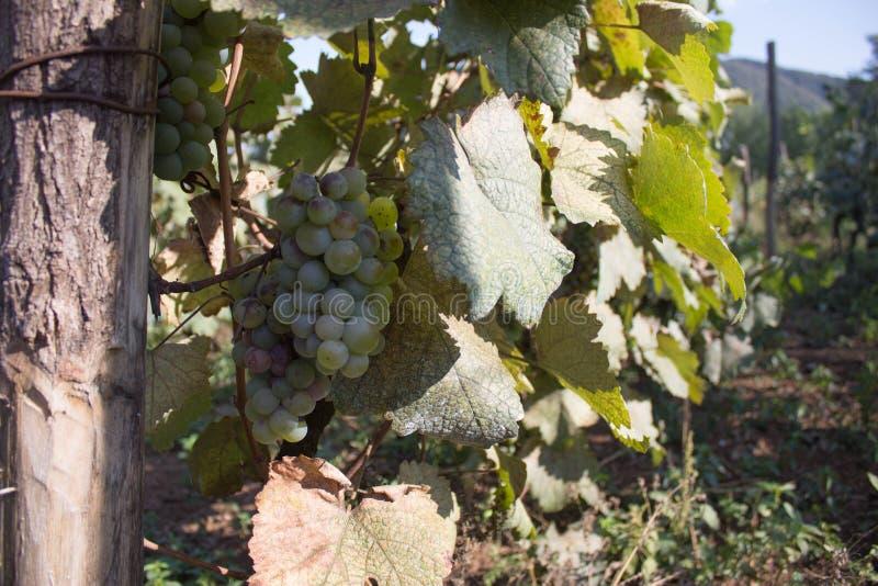 垂悬在灌木的白葡萄在一晴朗的美好的天 手工制造葡萄收获细节在英王乔治一世至三世时期葡萄园里 免版税图库摄影