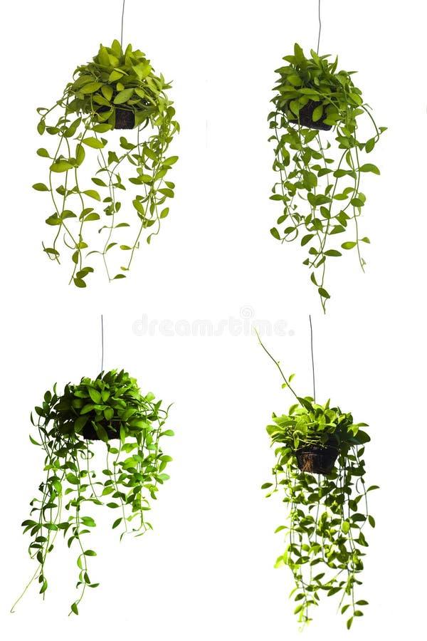 垂悬在白色背景的绿色树 图库摄影
