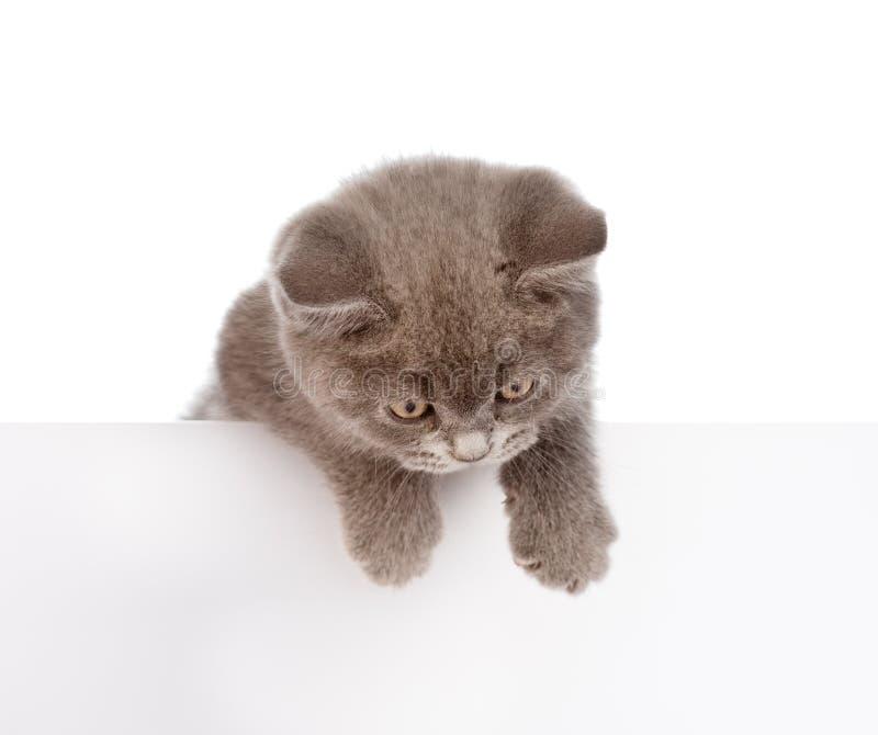 垂悬在空白的海报委员会的小猫 查出在白色 免版税库存照片