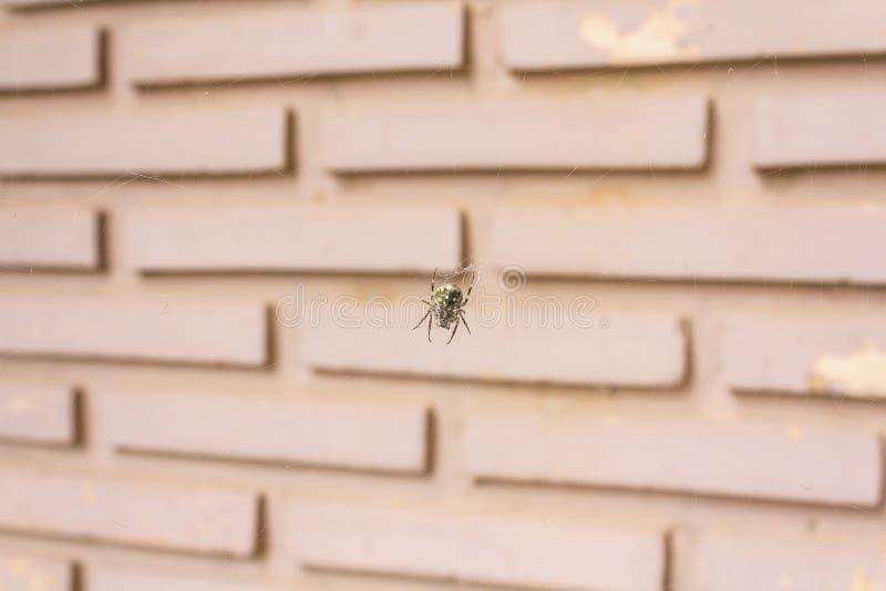 垂悬在网的蜘蛛 库存照片