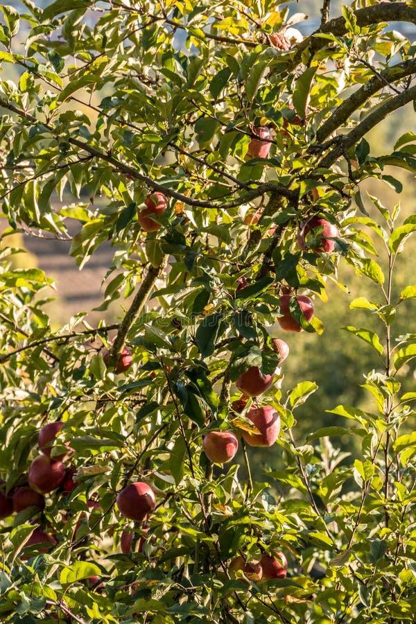 垂悬在苹果树的红色苹果 免版税图库摄影