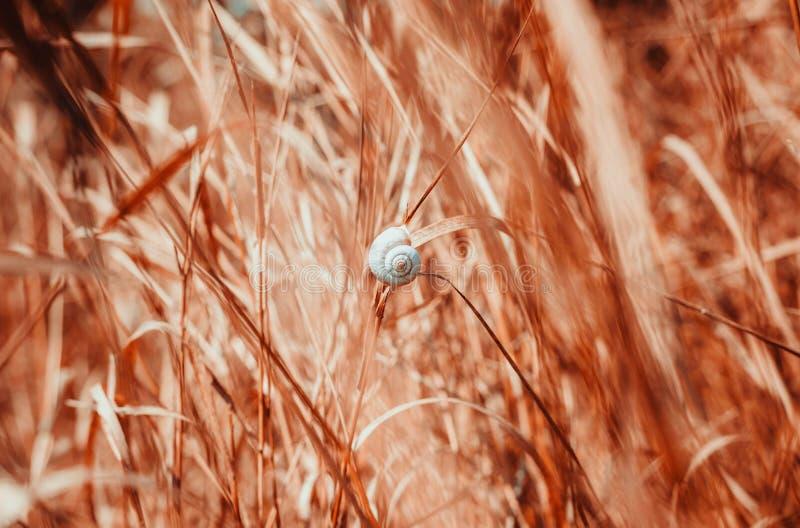 垂悬在草叶的一只孤零零蜗牛 库存照片