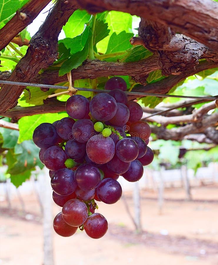 垂悬在藤的一束葡萄在葡萄园里-葡萄耕种 库存图片