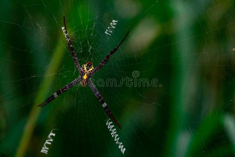 垂悬在被弄脏的绿色背景上的蜘蛛网的蜘蛛宏观射击 免版税库存图片