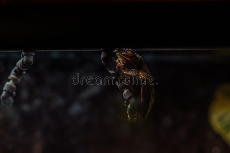垂悬在黑暗的过分甜的青蛙 免版税库存照片