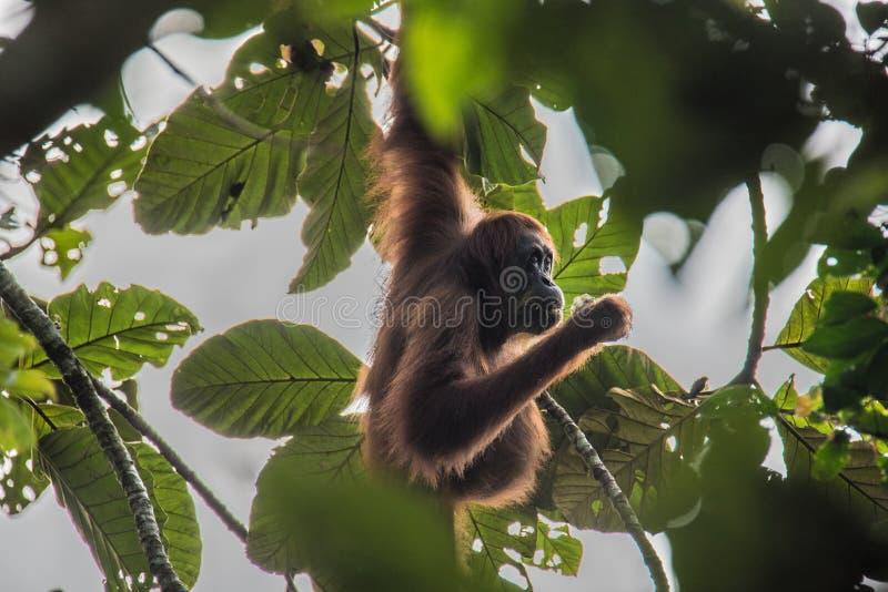 垂悬树吃食物的美丽的野生猩猩 免版税图库摄影