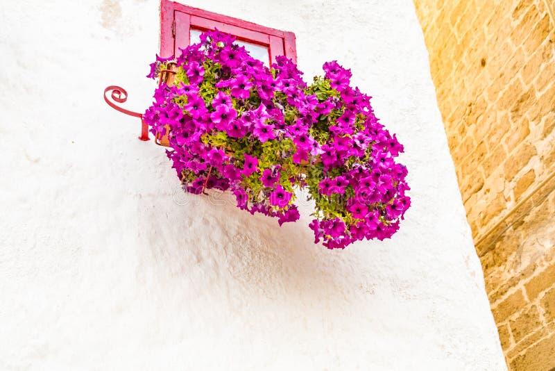 垂悬的喇叭花在南意大利 免版税库存图片