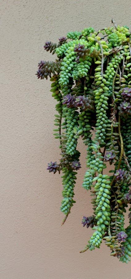 垂悬的多汁植物 免版税库存照片