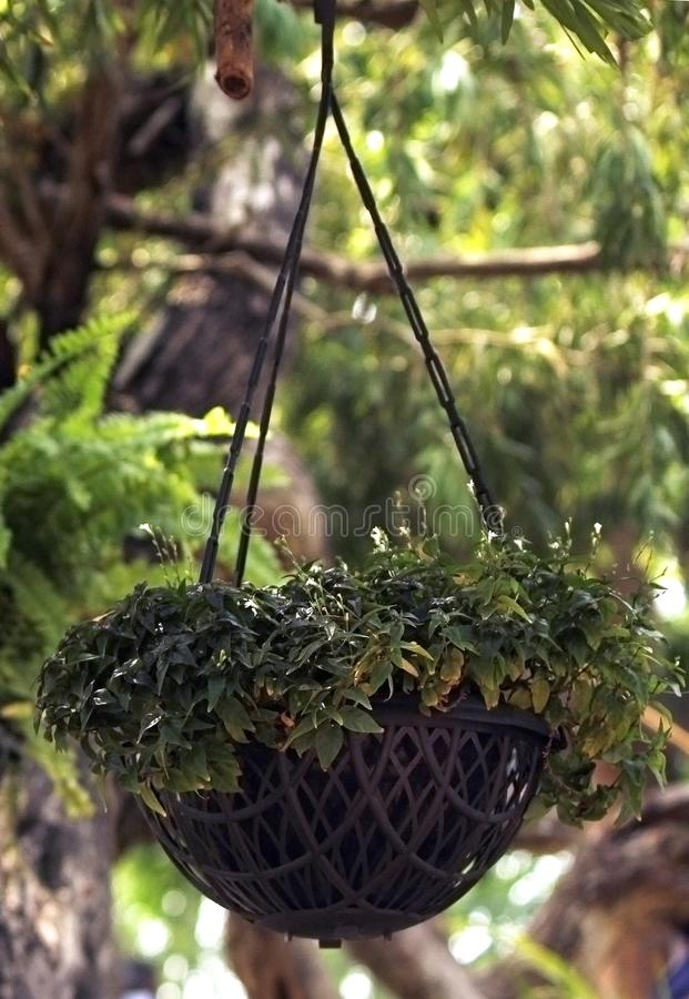 垂悬的盆的植物 免版税图库摄影