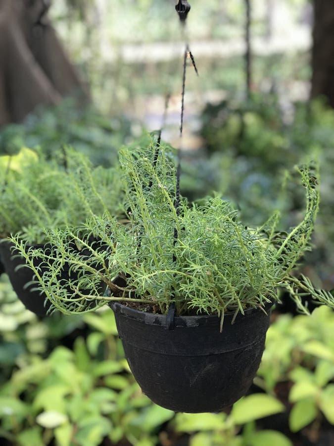 垂悬的绿色盆的植物 免版税库存图片