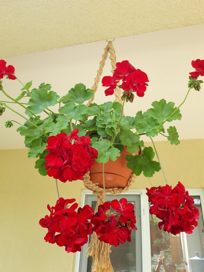 垂悬的罐大竺葵在Saon修道院里 免版税库存照片