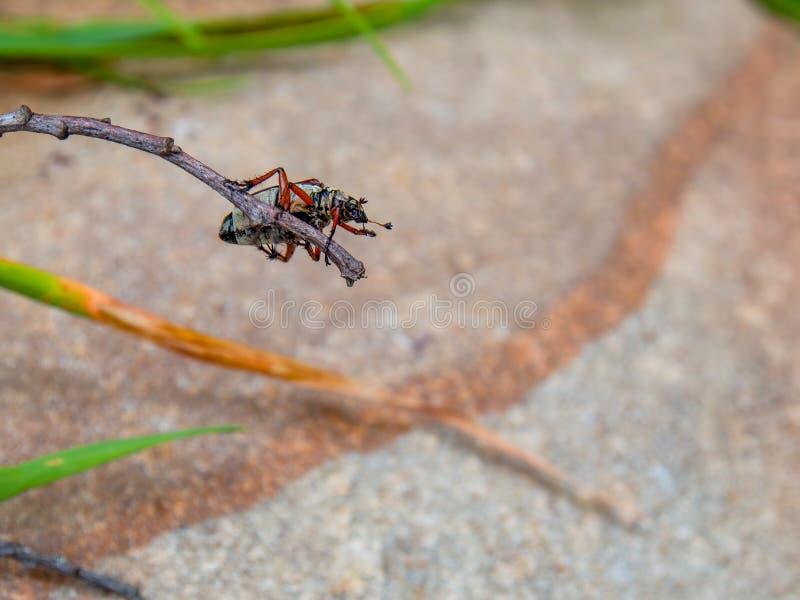 垂悬镶边金龟子的甲虫颠倒 免版税图库摄影