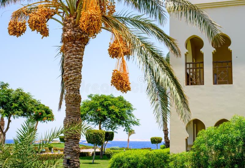 垂悬从棕榈树的束日期 库存图片