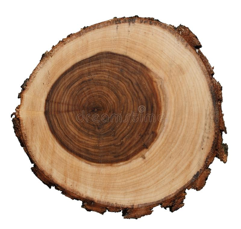 垂柳在白色背景隔绝的树干的横断面 库存图片