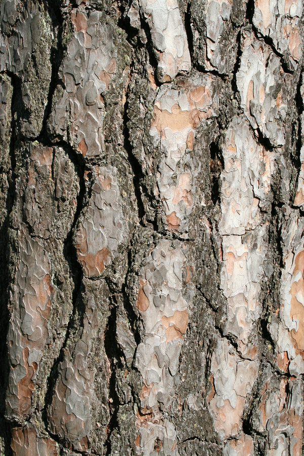 Download 垂直吠声的结构树 库存照片. 图片 包括有 木头, 本质, 森林, 工厂, 结构树, 纹理, 特写镜头, 自然 - 193930
