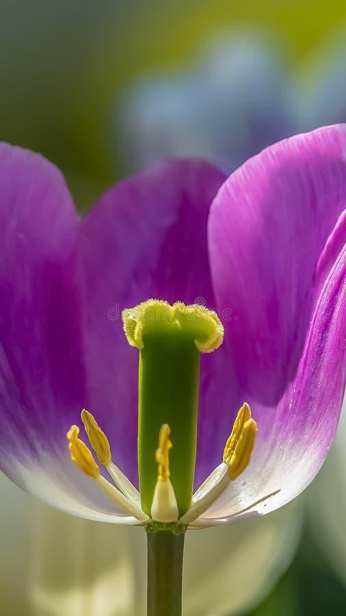 垂直的关闭紫色郁金香有它的生殖器看法  库存图片