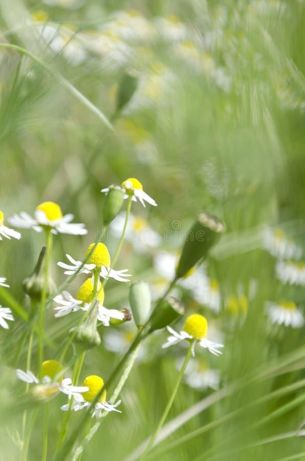 垂直的射击,选择聚焦 春天绿色草甸 鸦片春黄菊和种子头在绿色庭院里 免版税图库摄影