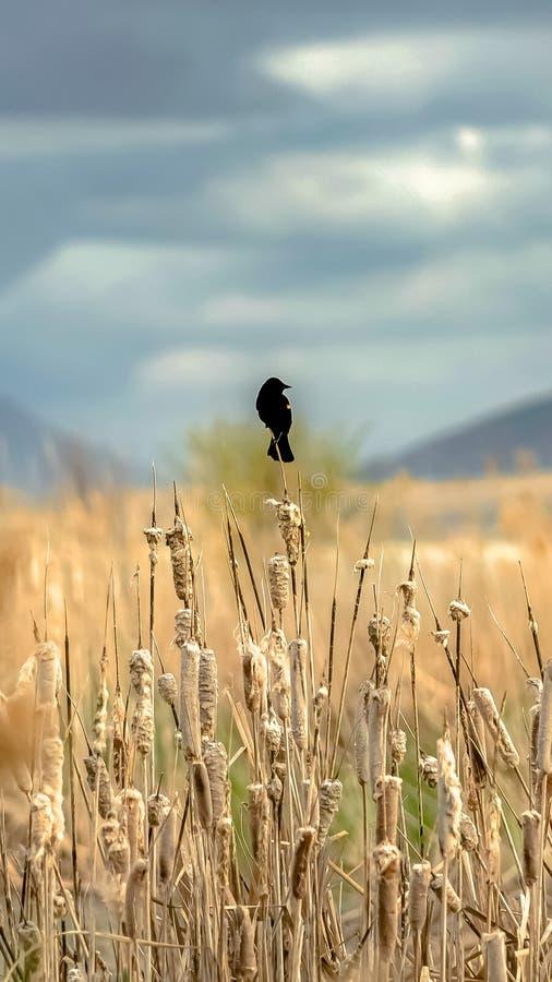垂直的小黑鸟被栖息在生长棕色的草顶部由一个湖在一好日子 免版税图库摄影