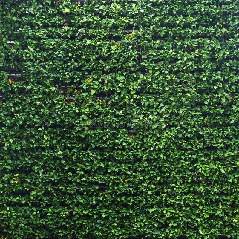 垂直的庭院豪华的绿色墙壁样式表面纹理 外部天然材料特写镜头设计装饰背景的 库存图片