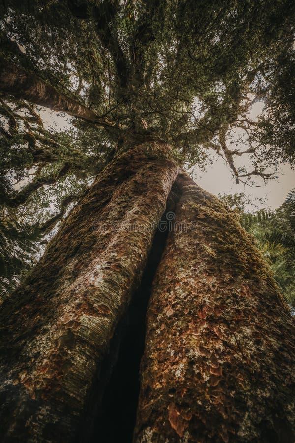 垂直的树干在森林,新西兰里 图库摄影