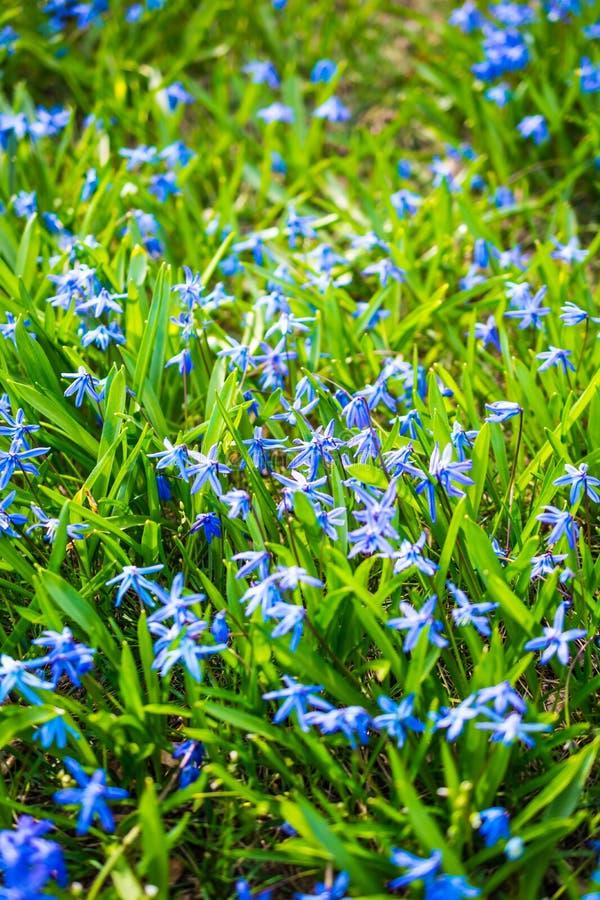 垂直的看法开花Scilla在绿草bokeh背景的siberica蓝色 库存图片