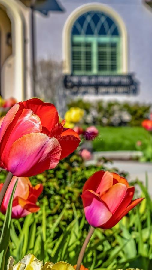 垂直的高开花在一个家的庭院里的框架光芒四射的郁金香在一个晴朗的春日 图库摄影