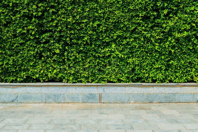 垂直的庭院绿色留下墙壁或树篱芭behide路 免版税库存图片