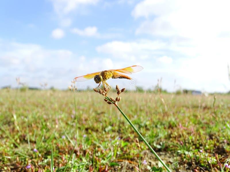 垄沟珠宝蜻蜓 库存图片