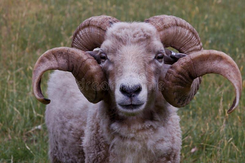 垫铁好的公羊 图库摄影