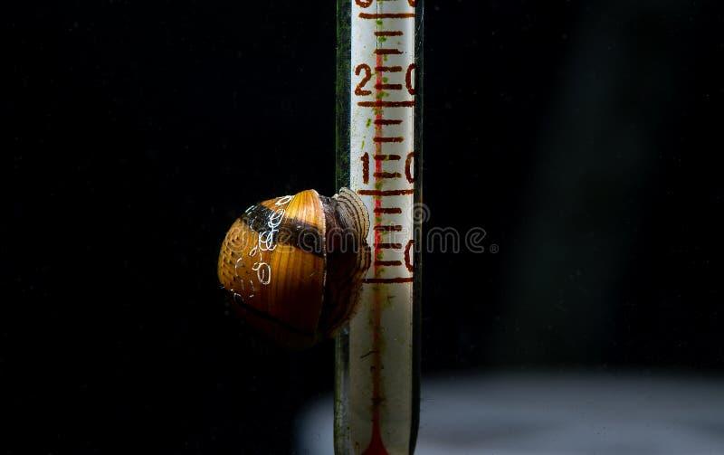 垫铁蜗牛吃在温度计的地衣有黑暗的背景 图库摄影