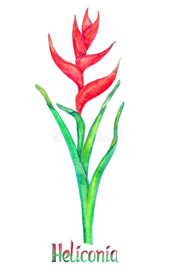 埃利孔亚caribaea,在白色手画水彩例证隔绝的红色形式 库存例证