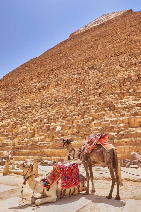 埃及开罗吉萨高原的卡夫拉金字塔前的骆驼 免版税库存图片