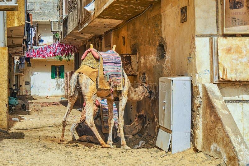埃及开罗的骆驼寻找避阳 图库摄影