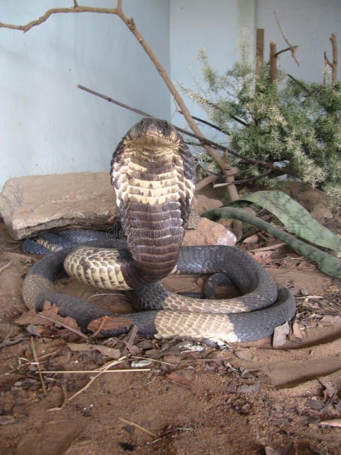 埃及眼镜蛇准备好在威胁显示 图库摄影