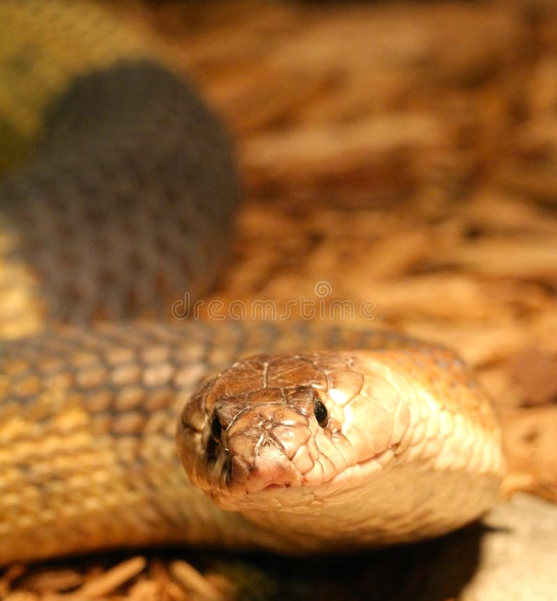 埃及眼镜蛇探险 免版税库存照片