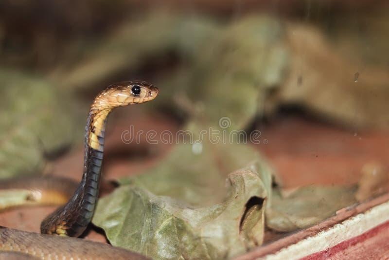 埃及眼镜蛇 免版税图库摄影