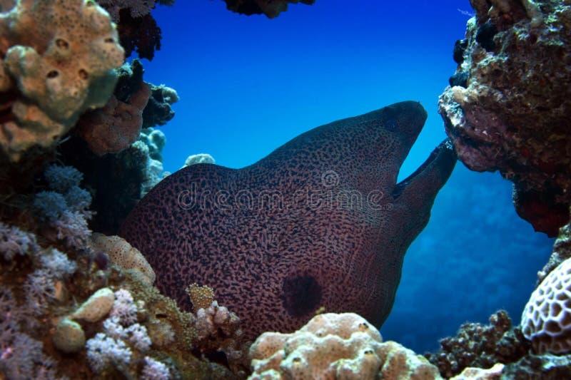 埃及红海裸胸鳝 免版税库存照片