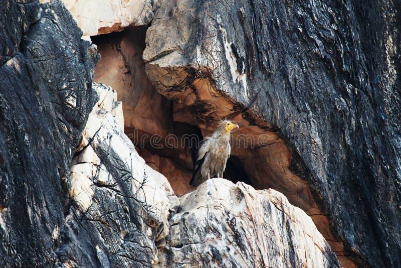 埃及雕,兀鹫percnopterus,也叫白色净化剂雕或法老王的鸡 库存图片