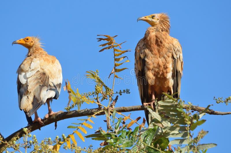 埃及雕(兀鹫Percnopterus)在Sokotra海岛,也门上的一个分支 免版税图库摄影