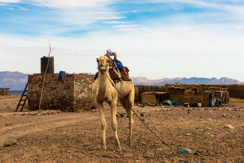 埃及风景、流浪的村庄和骆驼在沙漠 免版税库存图片