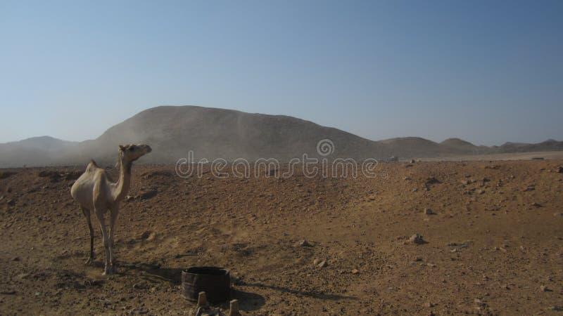 埃及骆驼 免版税库存图片