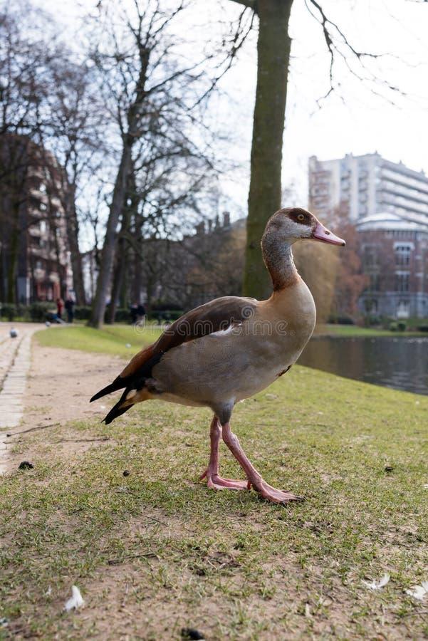 埃及鹅在Leopoldpark在布鲁塞尔 免版税库存图片