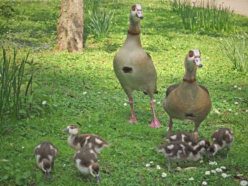 埃及鹅家庭 免版税库存图片