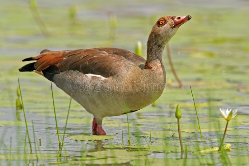 埃及鹅 库存图片