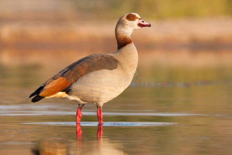 埃及鹅 库存照片