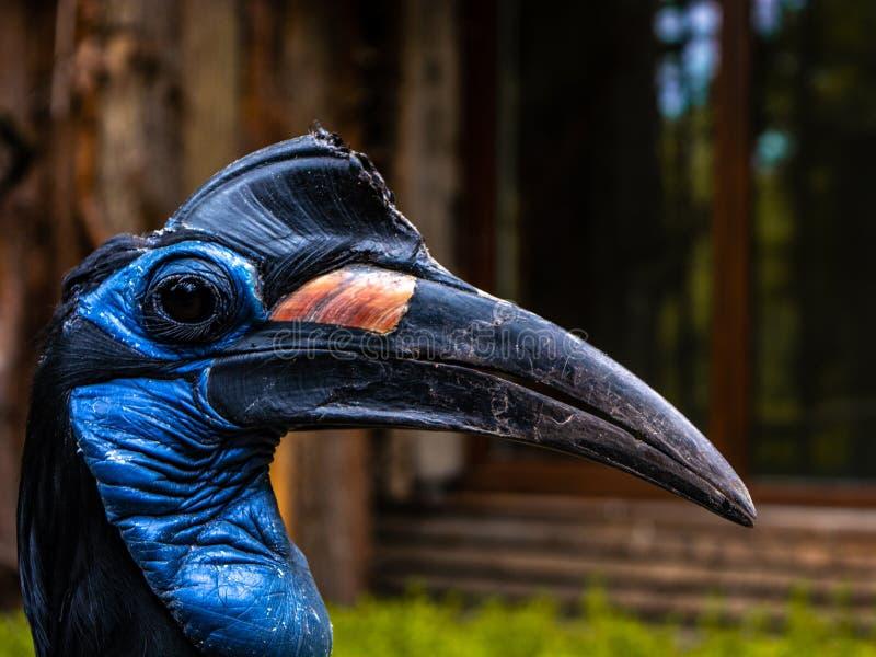 埃塞俄比亚地面犀鸟在加里宁格勒 免版税图库摄影