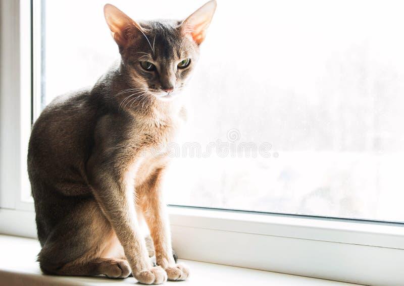 埃塞俄比亚猫坐窗口自白天,选择聚焦 免版税库存图片