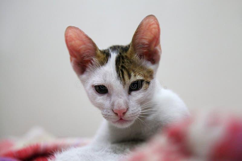 埃塞俄比亚猫白色和褐色颜色,艾哈迈德讷格尔,马哈拉施特拉,印度 免版税图库摄影