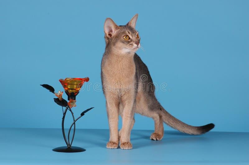 埃塞俄比亚猫 免版税图库摄影