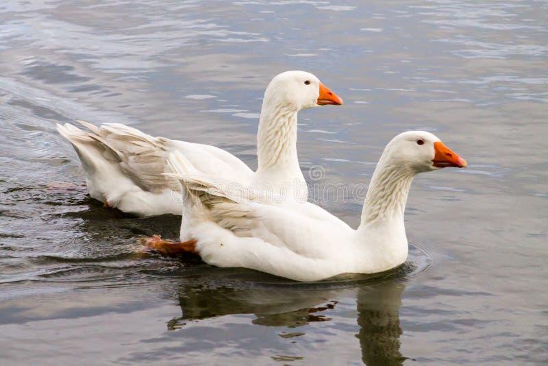 埃姆登鹅夫妇 免版税库存图片